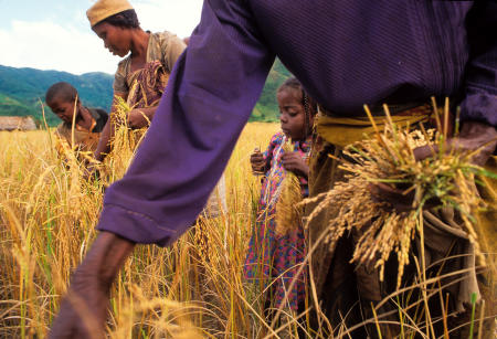 Three generations harvest paddy rice in the remote Madagascar village of Namahoaka.