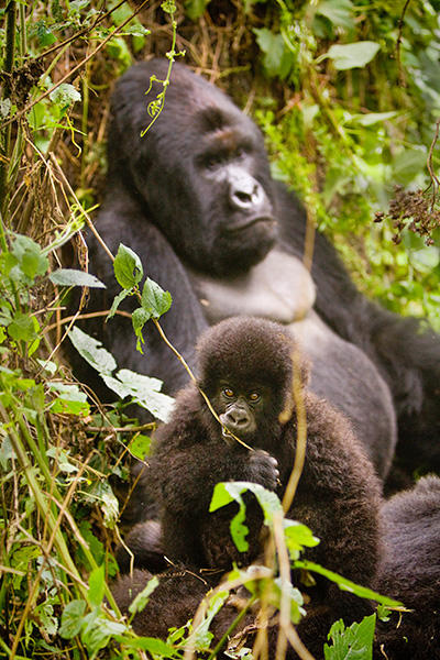 A juvenile mountain gorilla feeds on vegetation, as the silverback relaxes in the wild of the DRC in Africa.