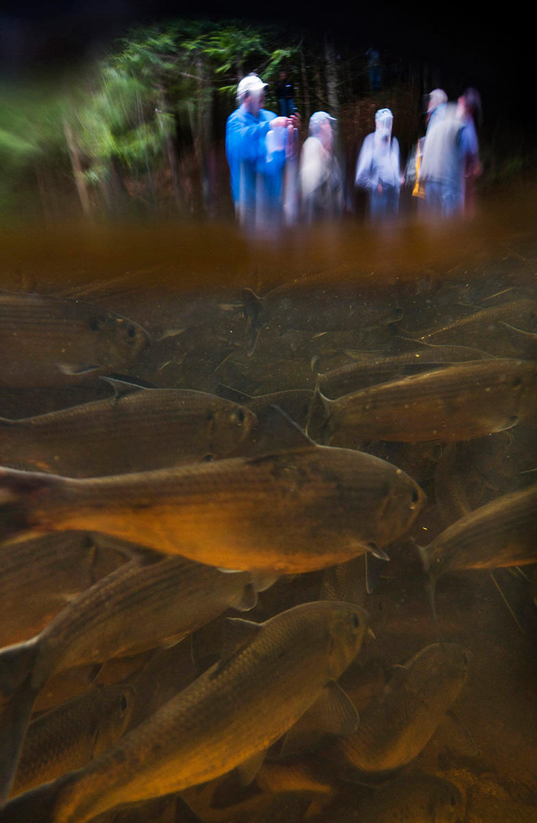 People view Casco Bay's  largest migrating fish run, where 30,000 alewife pass, in Westbrook's Mill Brook.