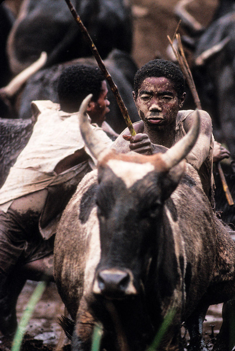 Young men herd zebu cattle around the rice fields so their hooves break up the soil in preparation to plant.