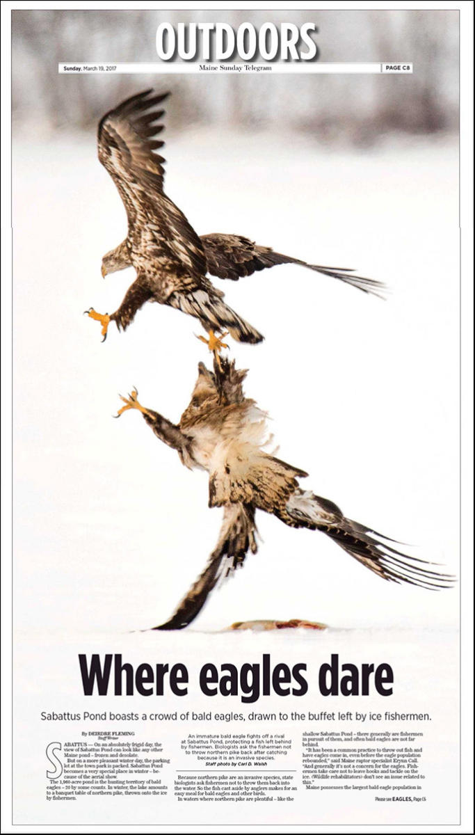 An immature bald eagle fends off a rival while protecting a pike left by fishermen.on the ice by fishermen.