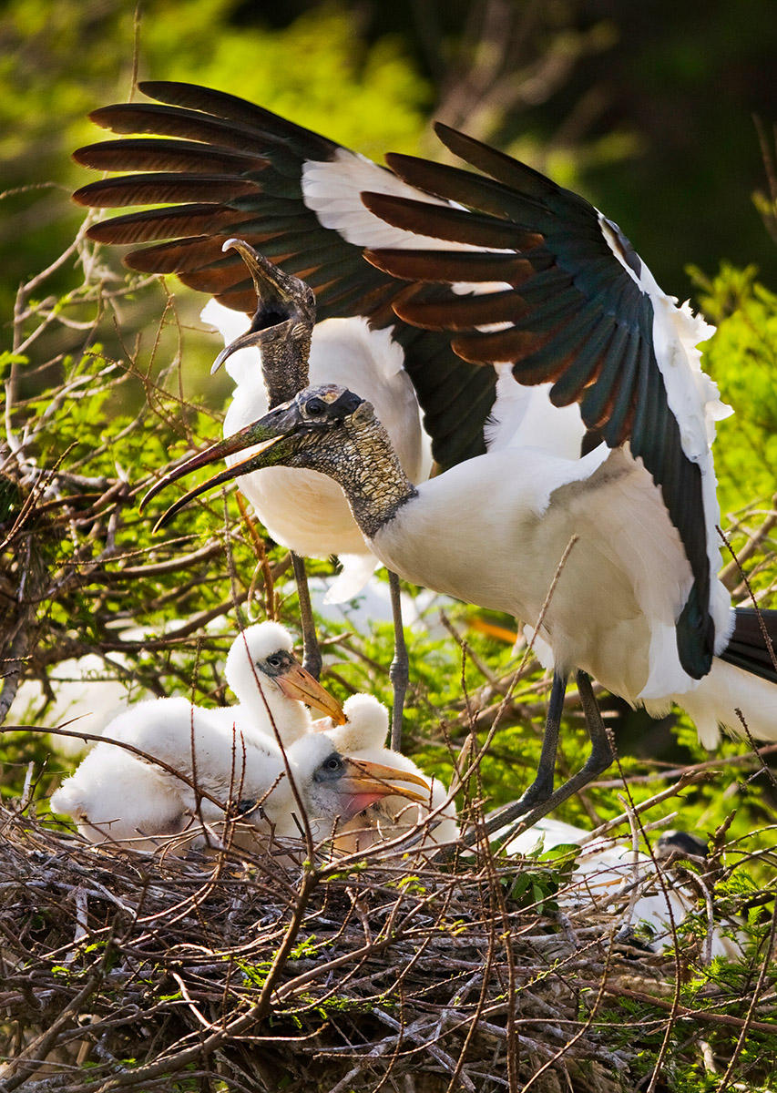 Wood storks nest in a Florida rookery north of Tampa. Once an endangered specie, the wood stork was downgraded to threatened in 2014.
