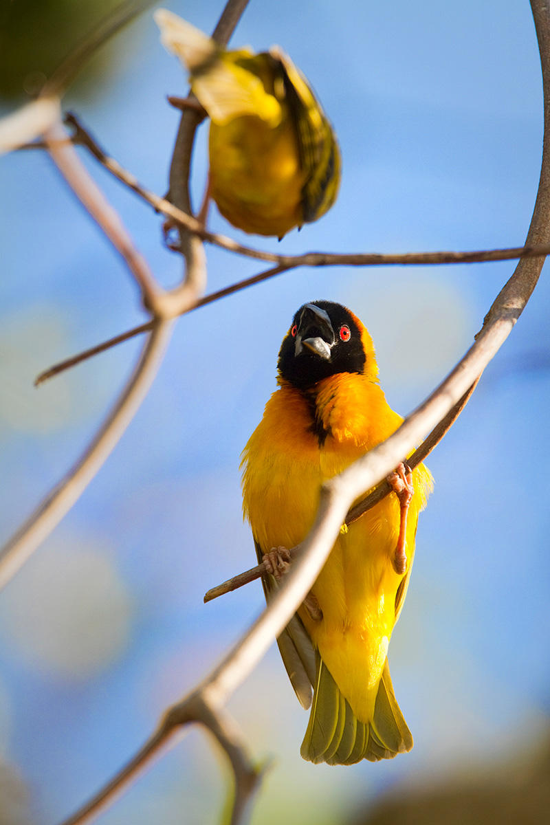 An African masked-weaver (Ploceus velatus) squawks at another weaver while perched in a tree along Lake Victoria in Kenya.