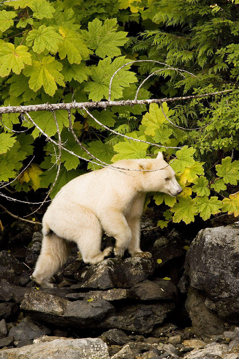 "The Kermode bear (Ursus americanus kermodei), also known as a ""spirit Bear"" walks along the mountainous British Columbia shoreline. The white, or creamy-colored bruin is a rare subspecies of the 