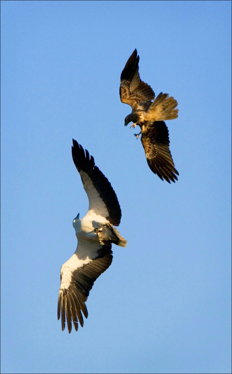 A white bellied eagle fends off an attacking kite over Yellow Water Billabong in Australia.