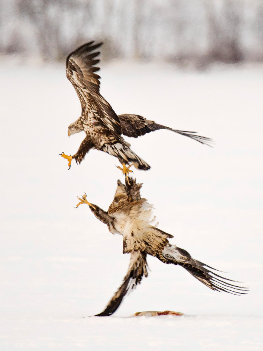 An immature bald eagle fends off a rival while protecting a fish on a frozen lake in Maine.