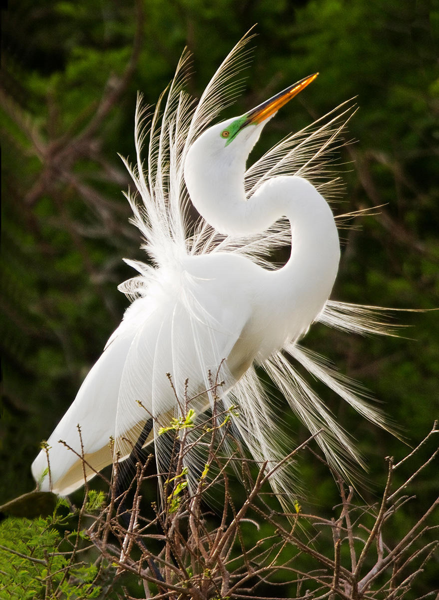 A male great egret displays its mating season plumage near the nest on Florida's gulf coast.