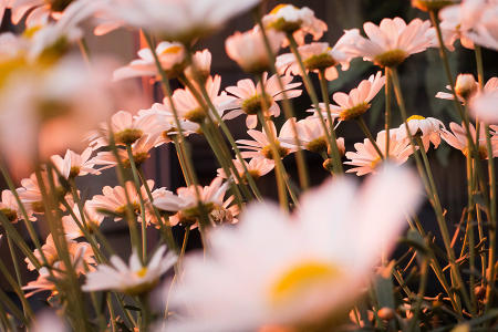 "Midnight sun illuminates a daisy bush, known in Finnish as ""Paivan Kakkara"", in the country's central region."
