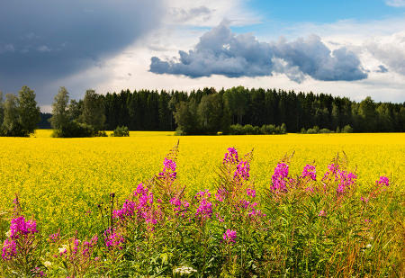Bright yellow fields of rypsi, from which butter and oil are derived, and magenta horsma, contrast a vibrant cloud-highlighted sky in central Finland.