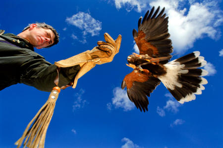 A harris hawk readies to land on the glove of Green Mountain Falconry's Rob Waite. Shot for Yankee Magazine.