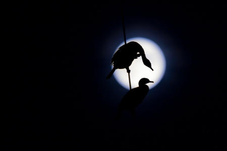 Twin crested cormorants, silhouetted against the full moon, roost on power lines in Maine.