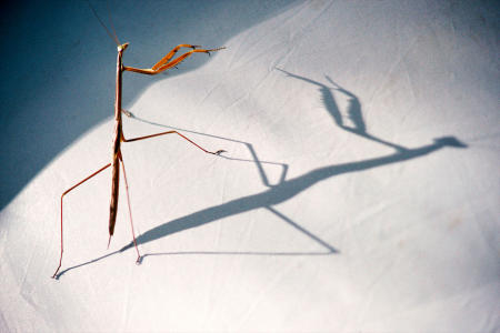 An nine-inch long praying mantis casts an ominous shadow on the fabric of a campers' tent in Madagascar's Isalo National Park.
