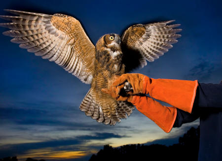 A great horned owl is released back into the wild after rehabilitation.
