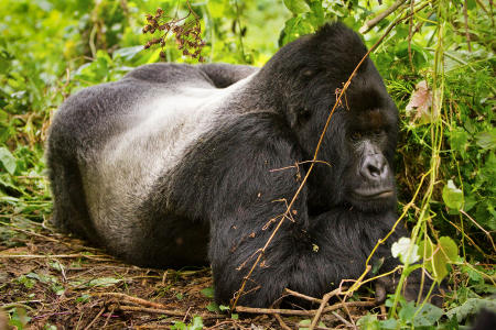 A silverback mountain gorilla relaxes in the highland forest of the Virunga Mountains in the eastern Democratic Republic of the Congo. Fewer than 800 exist in the world.