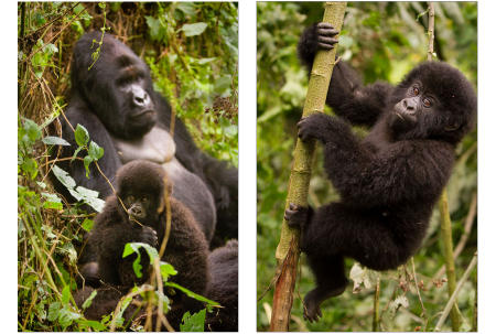 Mountain gorillas habitate the highland forest of the Virunga Mountains in the eastern Democratic Republic of the Congo. Fewer than 800 exist in the world.