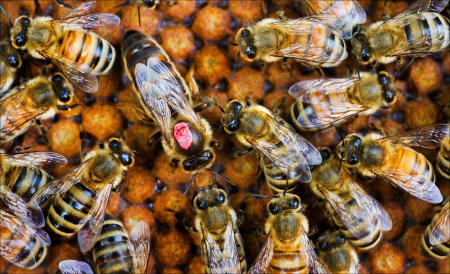 The queen bee is surrounded by the worker bees in a bee keepers hive.