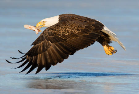 A bald eagle flies with a fish clenched in its beak, over the ice of a central Maine lake.
