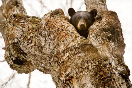 A hibernating American black bear pokes it head out of its tree-top den in Maine's North Woods.