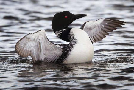 A common loon flaps its wings on the water in Rangeley Lake in Maine.