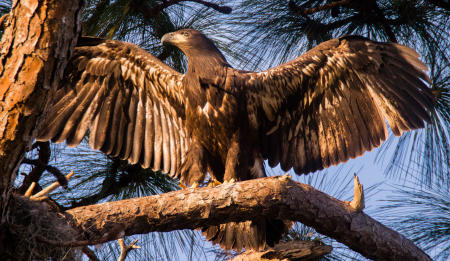 A juvenile bald eagle stretches its wings, before fully fledged, a short hop from the nest along Florida's gulf coast.