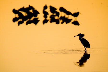 Silhouetted water birds, including a great egret, (lower right) wade while feeding at sunset at J.N. Ding Darling National Wildlife Refuge in Sanibel, Florida.