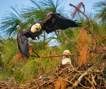 A male bald eagle launches from a perch near the nest as his mate clenches a branch in her beak, while trying to break it away.