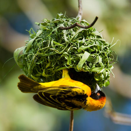 An African masked-weaver (Ploceus velatus) perches upside down on the nest along Lake Victoria in Kenya.