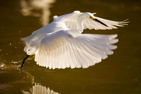 A snowy white egret (egretta thula) hovers in flight over the water, dragging its talons along the surface as a lure to attract bait fish while feeding.