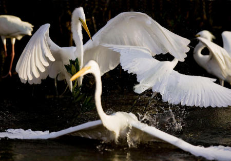 Great egrets and a snowy white egret do a dance while feeding in close proximity at J.N. Ding Darling National Wildlife Refuge in Sanibel, Florida.
