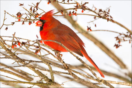 A male cardinal (cardinalis cardinalis) eats a berry from a winterberry bush in Vermont.