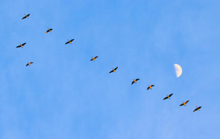 A skein of Canada geese fly north past the rising half moon in Maine.