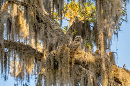 A pre-fledge, juvenile great horned owl looks out from its nesting tree
