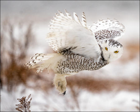 A snowy owl hovers above the log it was perched on, in order to move a few feet down.
