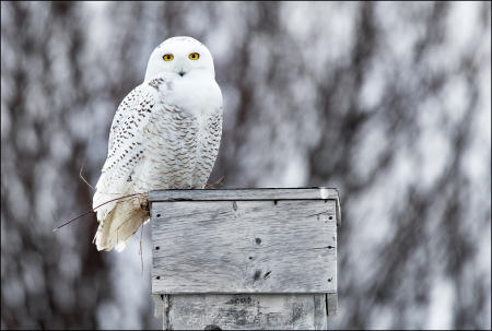 A snowy owl perches on a coastal Maine rooftop, from where it hunts in a field below.