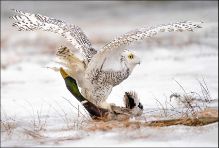 A snowy owl wrestles with a mallard in a coastal Maine estuary, where it winters from the Arctic.